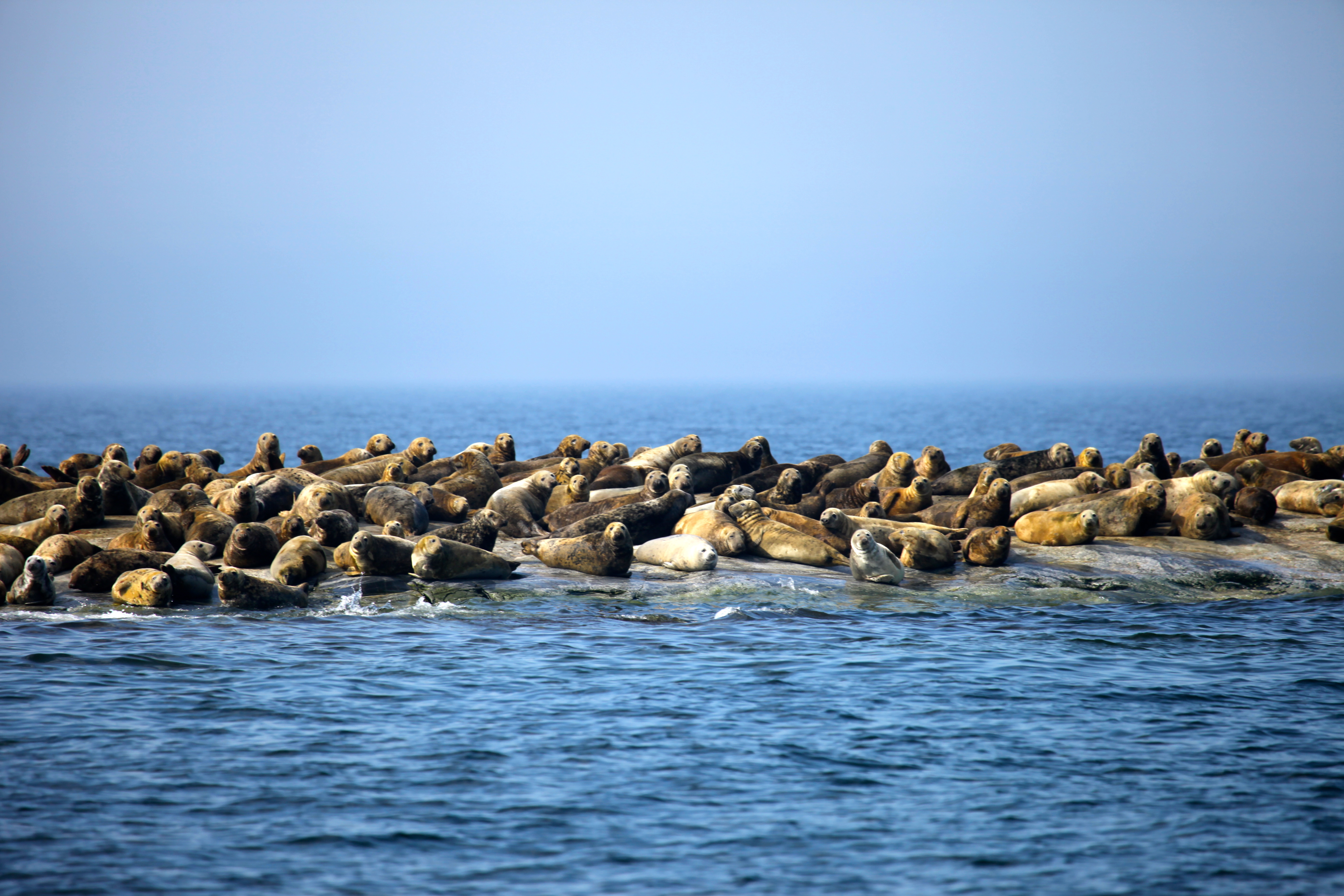 Sandbäckin hylkeidensuojelualueelle järjestetään matkoja, tervetuloa!